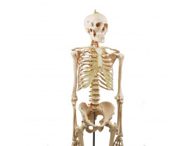 Esqueleto Humano com Rodas 1,70 m